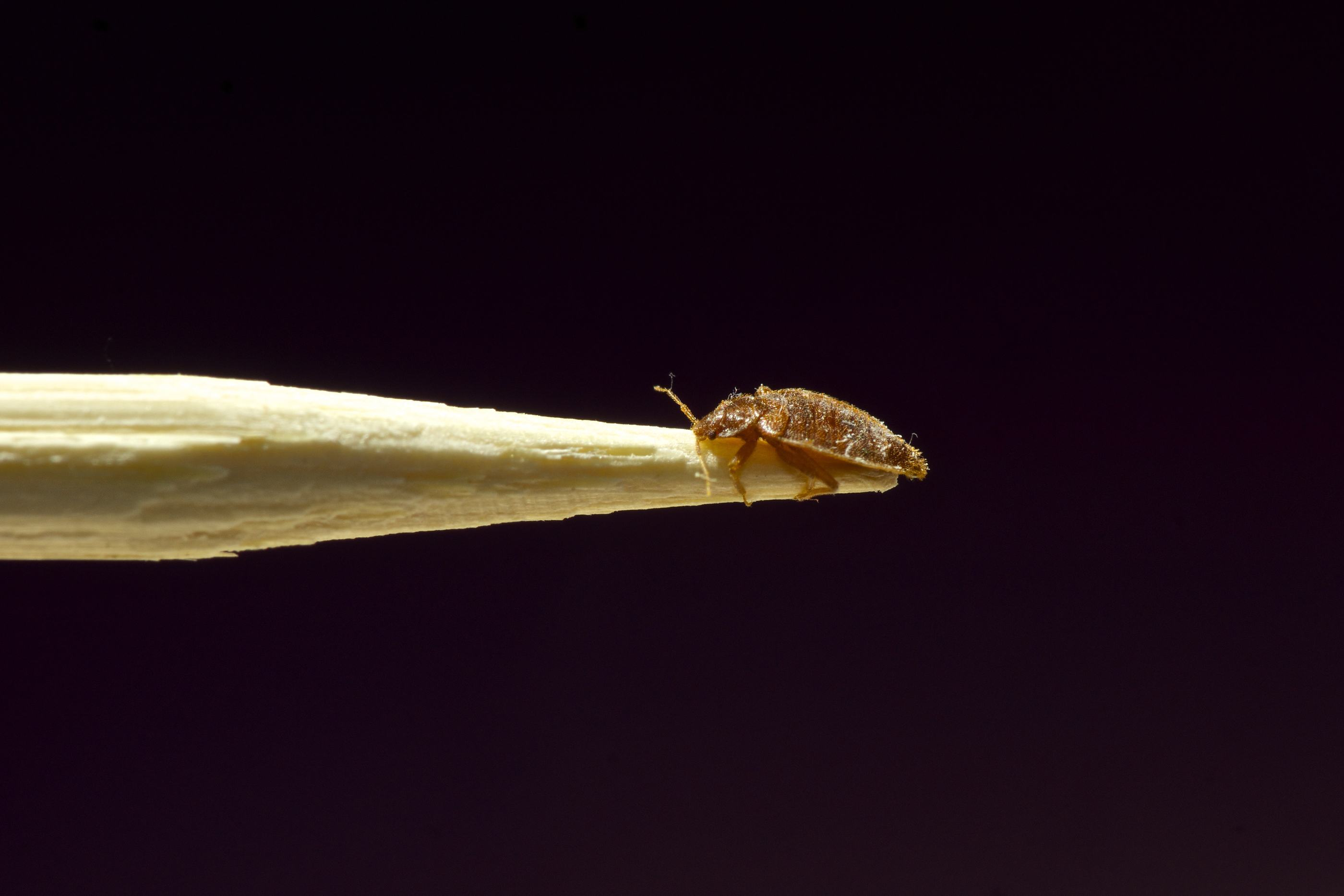 bed bug control in Singapore