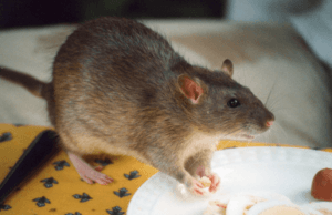 rodent pest control singapore